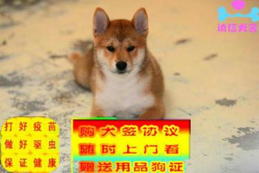 纯种犬繁殖基地出售赛级品质纯血柴犬三针齐全