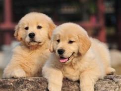 直销CKU证书金毛等各类名犬 欢迎订购咨询 可送货