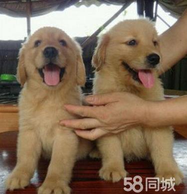 正规犬舍直销纯种金毛,健康活泼金毛宝宝,包送狗