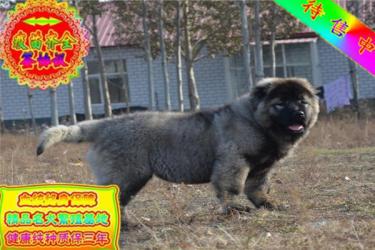 出售護衛犬巨型高加索犬純種寵物狗狗活體狼青色高加索
