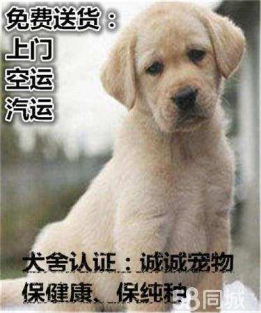20年專業繁殖拉布拉多犬,血統純正簽協議包養活