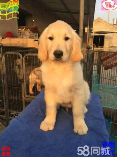 高品质双血 金毛幼犬,大骨量,随时可以看狗可送货