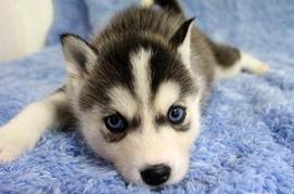 出售呆萌哈士奇幼犬 终身保证狗狗纯种男神女神大爱
