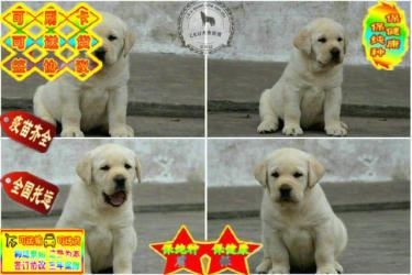 ��N拉布拉多犬 �p血�y��N品�|保�C包健康��N
