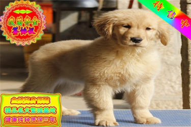 出售纯种大头金毛幼犬 健康有保障 可签购犬协议可送