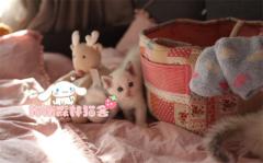 专业繁育纯种布偶猫咪 血统纯正 实物拍摄 上门挑选