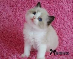 宠物级布偶猫出售 海豹双蓝双 公母都有带CFA证