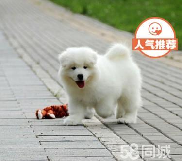 微笑天使澳版纯白萨摩耶幼犬天真可爱 三个月疫苗齐