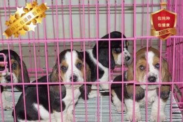 巴吉度幼犬出售包纯种健康 喜欢的朋友可上门看狗