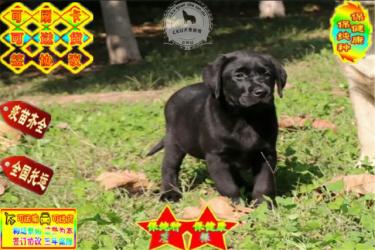 纯种拉布拉多犬 双血统纯种品质保证包健康纯种