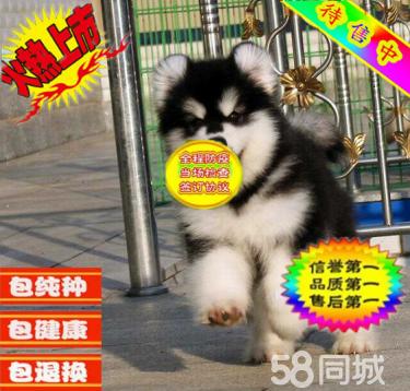 出售纯种阿拉斯加犬,大?#27207;?#29066;版阿拉斯加犬 签协议