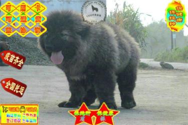 出售高品質賽級直系一熊版高加索幼犬購買簽協議保