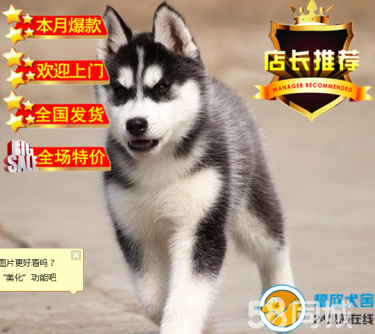 純種哈士奇犬,三火藍眼睛,包活包健康,簽署協議