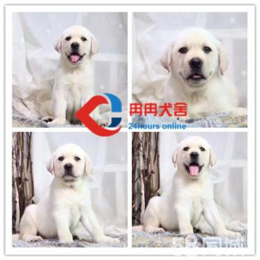 出售純種拉布拉多幼犬 賽級品質 健康質保 顏色齊全