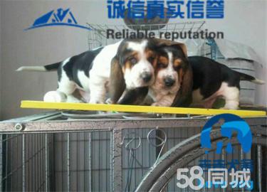 百分百纯种巴吉度猎犬,专业繁殖,值得信赖