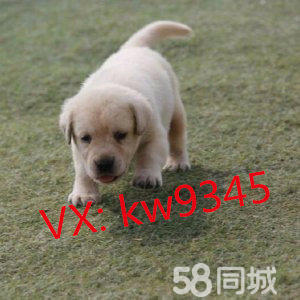 犬舍金沙官方平台各种高品质狗狗 疫苗齐全 包健康纯种签协议