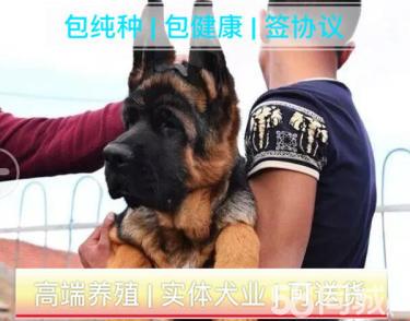 標準賽系德國牧羊犬/頂級種犬/犬舍直銷/高品質