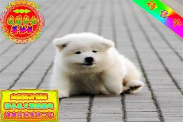 出售純種忠誠天使微笑薩摩耶幼犬 包健康 可簽協議
