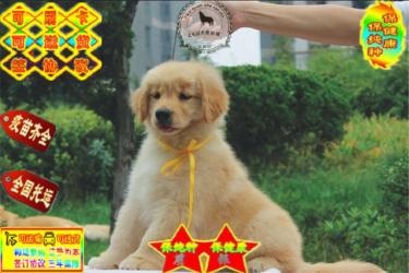 出售纯种大骨架黄金大头金毛幼犬签协议质保