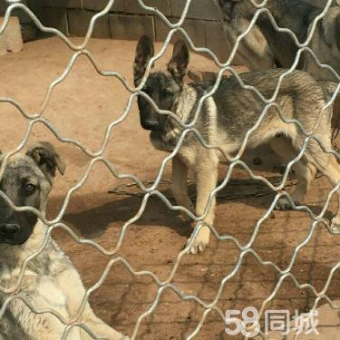 cku 诚信出售 马犬 狼青犬 保健康纯血精品