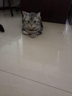 出售可爱的美短公猫啦