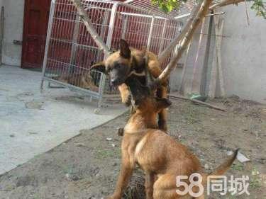 血�y比利�r�R犬,�R犬幼犬。