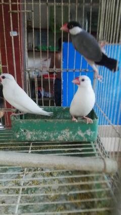 自家繁殖的雪鸽 观赏鸟 宠物鸟