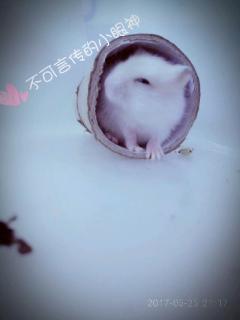 侏儒金狐银狐仓鼠