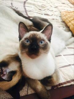 超級黏人的貴族暹羅貓
