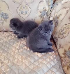 极品小蓝猫,价格美丽