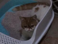 家养加菲猫母猫低价转让