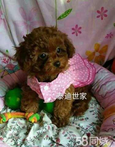 家庭饲养繁殖高品质韩系精品玩具泰迪熊宝宝