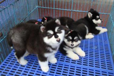 宠物狗 本地正规犬舍出售各类纯种宠物狗!阿拉斯加!