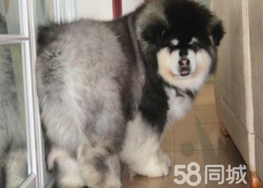 出售血统纯种阿拉斯加幼犬巨型十字脸桃脸阿拉斯加