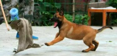 安庆,常年低价出售血统马犬,比特犬,杜高犬,卡斯罗