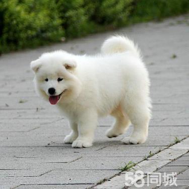 白天使萨摩耶骨量大 毛量佳正规犬舍繁殖澳版萨摩耶