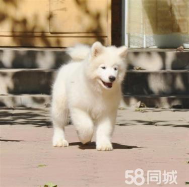 纯种健康萨摩耶幼犬微笑天使纯白色萨摩耶可爱萌宠