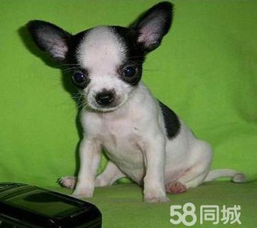 CKU服务犬舍纯种健康大眼吉娃娃出售质保三年