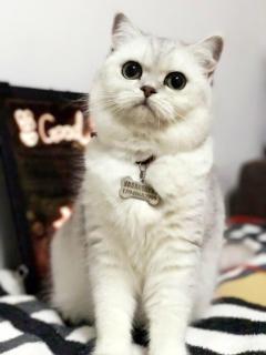 Good 猫呢(CFA注册猫舍)名猫,宠物猫等。