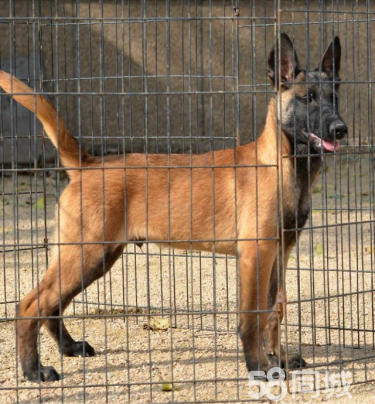 【CKU犬舍】出售純種比利時馬犬帶證書,可視頻