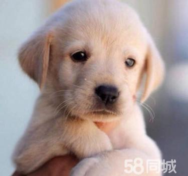 拉布拉多 養殖場直銷一出售各類寵物一包養活簽協
