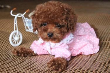 出售娃娃脸大圆眼睛红色泰迪,送用品,保证纯种健康