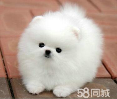 UKC注册犬舍出售纯种博美幼犬质保三年签署协议