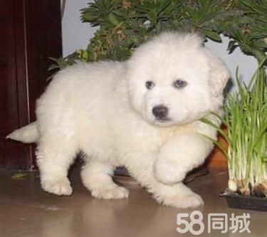 纯种大白熊幼犬三个月 驱虫疫苗已做完 欢迎选购