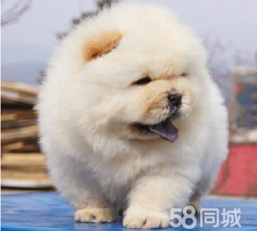 高端松狮幼犬出售品相好颜色多样可挑选上门签协议