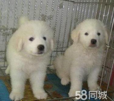 出售純種 健康 大骨架 大白熊犬 歡迎到家參觀選