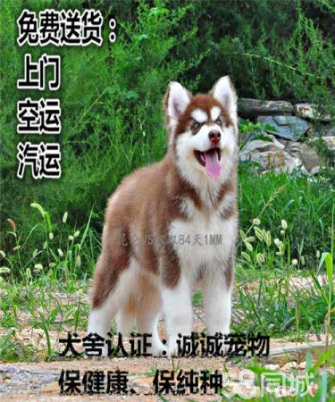 高品质纯种阿拉斯加,犬舍繁殖健康质量保证可送货