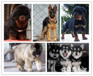 本地最大狗场直销各种幼犬一包健康纯种一签活体协议