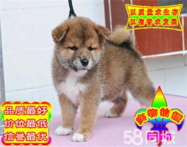 CKU金�|犬�I��I繁殖赤色�p血�y柴犬�����_放出售