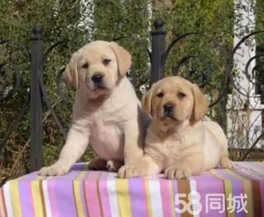 【神犬小七同款拉拉】品相极佳 包纯包健康 欢迎来选